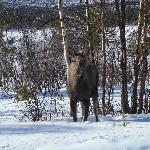 Moose on the Moose Safari Tour