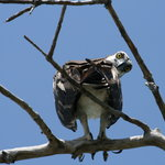Indignant osprey