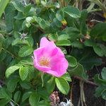 ハマナスの花です。