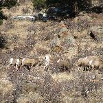 Big Horn Sheep About 1/2 mile from the Ponderosa