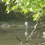 Blue heron in Caroni Swamp