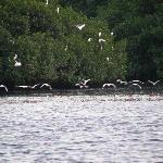 Snowy white egret flock arriving at Caroni Swamp roosting island