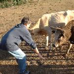 dad playing with the cows