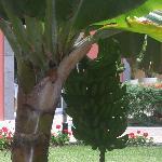 BANANAS GROWING IN HOTEL GROUNDS
