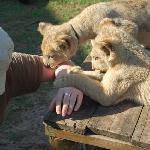 süsse kleine Löwenbabys