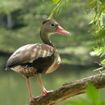 Black-bellied whistling duck at Wildfowl Trust