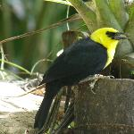Yellow-hooded blackbird feeding at Wildfowl Trust