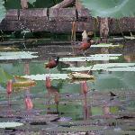 Wattled jacana walking across lily pads at Wildfowl Trust