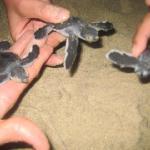 en temporada de año nuevo puedes liberar cientos de tortugas ke llegan solitas a tu kampamento..