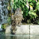 Jaguar at the Water