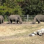 Rhinos Dueling