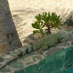 Rather Large Iguana