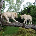 Lions at Casarel Nature Park