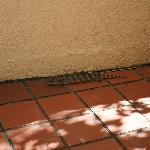 Blue Tongue Lizard in courtyard