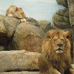 Napping lions