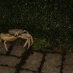 l'un des crabes de la Pousada...