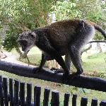A monkey on our balcony (before we upgraded).