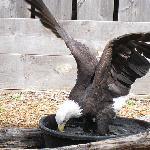 Bald Eagle, Wazzoo
