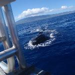 whale spy hopping