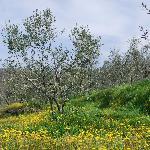 fiori e ulivi