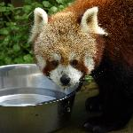 Newquay Zoo, Red Panda