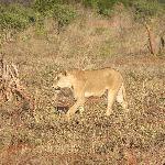 Lion what lion.