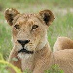 female lion waiting - Moremi Park