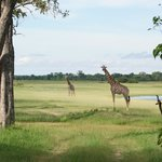 girafes in front of our tent - Moremi Park