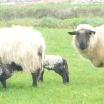 lambs feeding