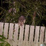 Possum on our back fence.