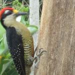 Woodpecker in action near the pool area