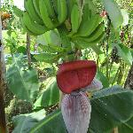 Plantains on property