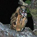 Night visitor - screech owl