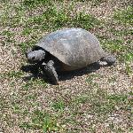 Turtle that greeted us on Caladesi!