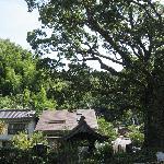 山門前のクスノキの大樹