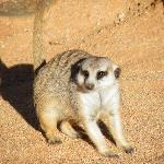 One of their lovely pet meerkats - or surikats