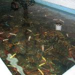 Pick your own lobsters