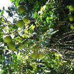 Grapefruit tree, Red Mill House garden, Daintree