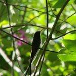 Doctor Bird, Jamaica's National Bird