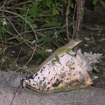 A lizard in the garden at Grand Anse