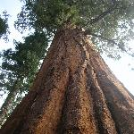 View of a Sequoia on CML trail