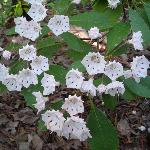 Mountain Laurel in bloom in May