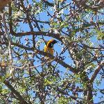 Name that bird! (oriole?)