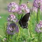 WITH THE WILD FLOWERS, BUTTERFLIES