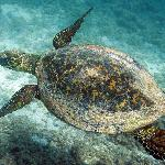Green sea turtle at Playa Arbolito