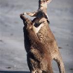 "The kangaroos saying ""hello"" to eachother"