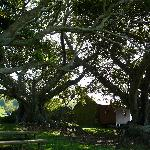 The Cottage and ancient fig trees