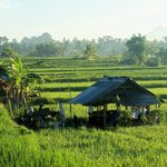 animal shelters amongst rice fields