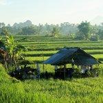 animal shelters amongst rice fields