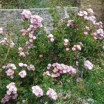 Pink Roses Vidya Niwas Garden